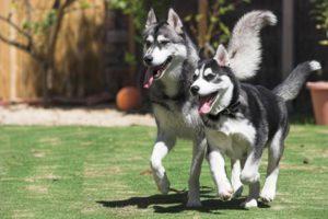 Nên huấn luyện chó Alaska với những bài tập nào?